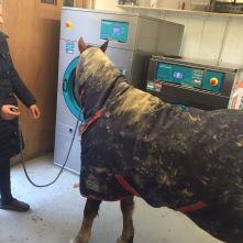 horse using washing machine
